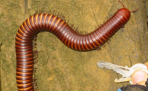 Сколопендры: инопланетные убийцы, живущие в наших домах