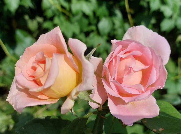 Сент Сейшн. Ч/г роза. Роза - моя любовь.
