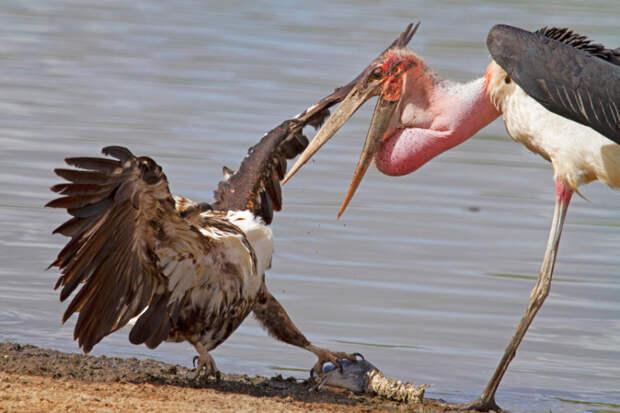 Орлан-крикун и африканский марабу