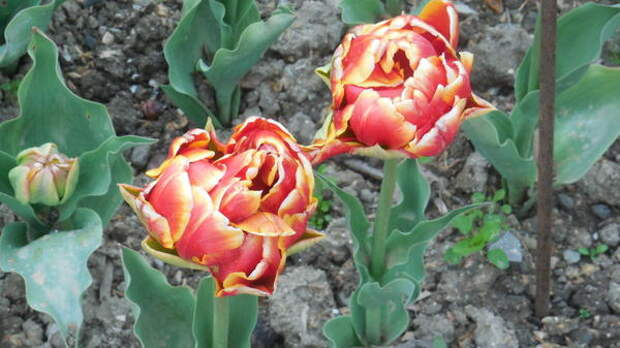 Тюльпан сорт Cilesta
