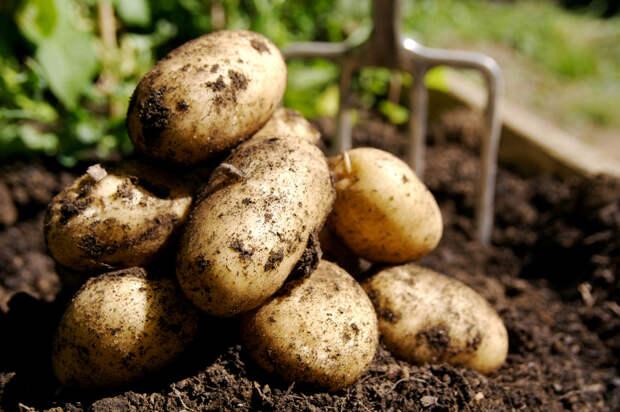 Уборка и подготовка к хранению картофеля