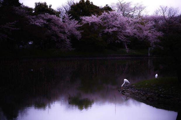 16 мгновений весны: цветение сакуры на снимках National Geographic