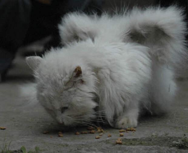 Котов, у которых отрастают «крылья», называют «коты-ангелы»