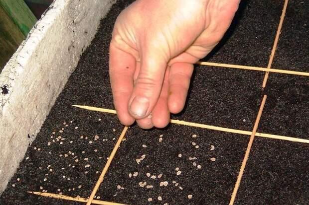 Памятка огороднику: сейте семена правильно