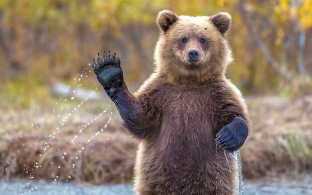 медведь машет лапой