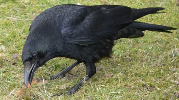 Эксперимент показал, что чёрные вороны обладают зачатками сознания.