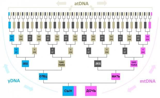 схема наследования Y-днк, MT-днк и Аутосомной ДНК
