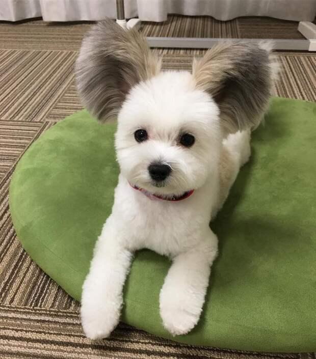 Милый пёсик с гигантскими ушами выглядит как настоящий Микки Маус