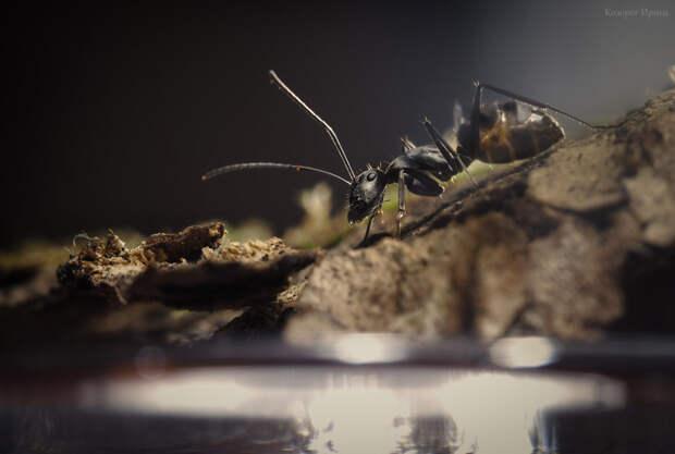 Но угрозы муравей пока не ощущает