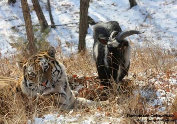 Тигр Амур и козел Тимур начали играть друг с другом