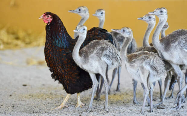 Курица выгуливает молодняк обыкновенных нанду в зоопарке Tierpark в Вормсе.