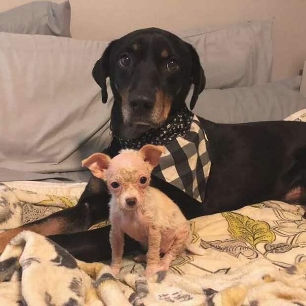 Девушка увидела фото тощего лысого щенка чихуахуа и сразу решила помочь ему
