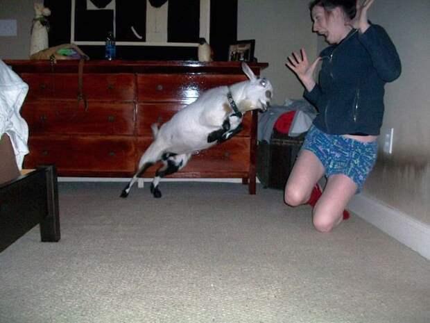 Кто бы мог подумать, что козы могу быть такими страшными момент, подборка, провал