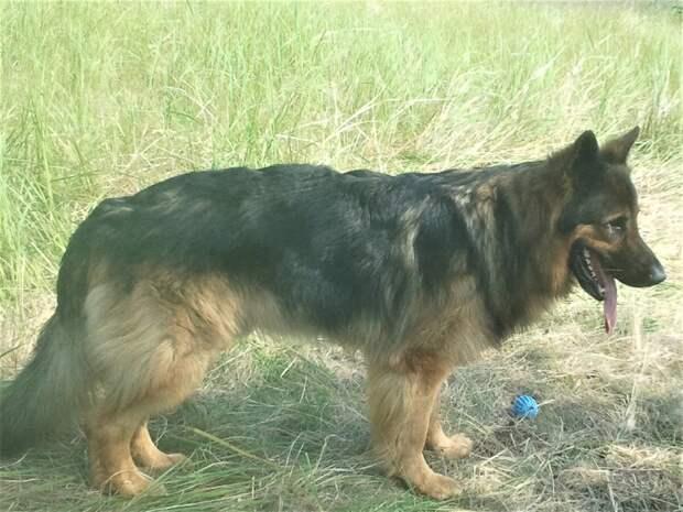 Жара и собаки - Кейси, Зевс, Дуглас. И надо ли стричь кошек