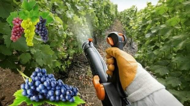 Филиал «Судак» АО «ПАО «Массандра» оповещает о проведении мероприятий по опрыскиванию плантаций пестицидами