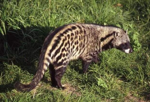 African Civet Cat (Civettictis civetta) - Information on African Civet Cat - Encyclopedia of Life