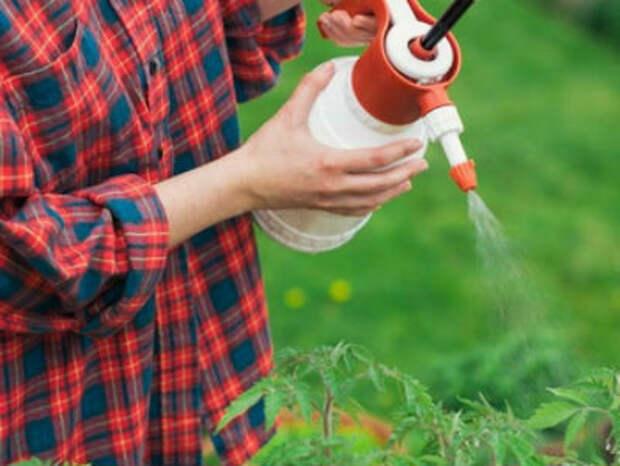 Фитофтора на помидорах, как бороться с грибком