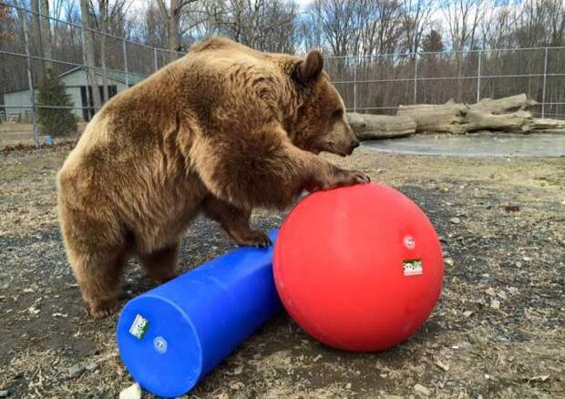 Джим и Джимбо: многолетняя дружба человека и медведя животные, история, медведь