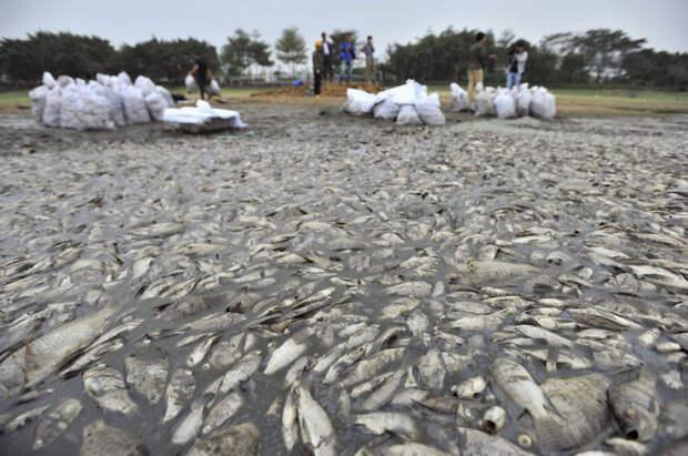 27. Рабочие мешками собирают дохлую рыбу в парке в Шэньчжэне, провинция Гуандун загрязнение, китай, экология