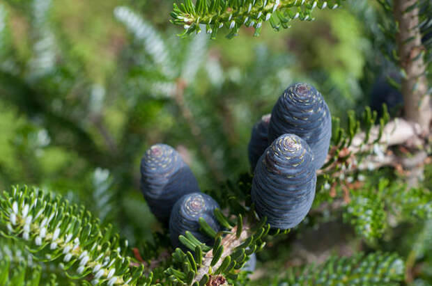 Корейская пихта (Abies koreana)
