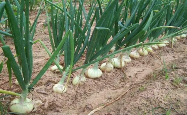 Чтобы лука было много, или как избежать вымокания луковиц