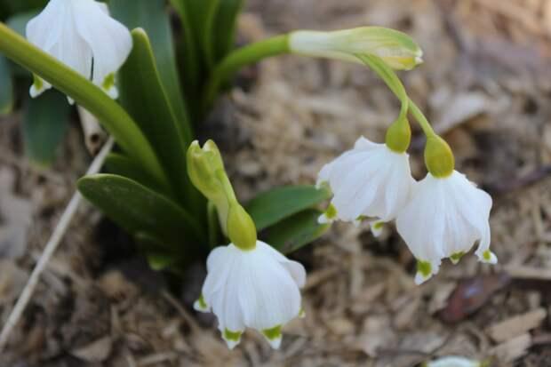 В Михайловскому саду распускаются цветы. Вот фото печеночницы, белоцветника и пушкинии