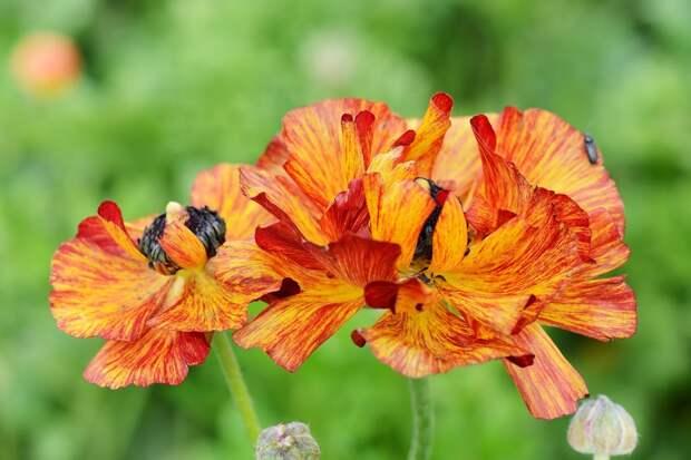 Лютики-цветочки в Израильском садочке
