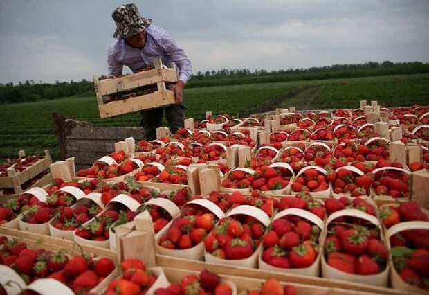 На Кубани собрали свыше 600 тонн ягод