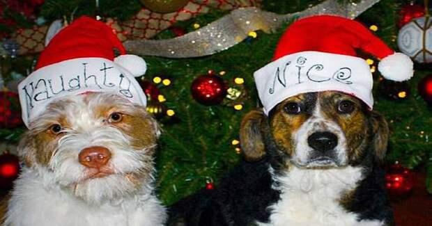 «Рождество без снега? Как бы не так!» — решили собачки и устроили хозяйке сюрприз прямо в доме