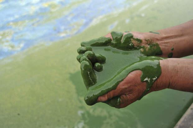 21. Рыбак набирает в ладони воды, полной ряски, из озера Чаоху загрязнение, китай, экология