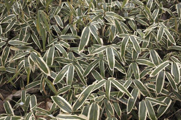 Саза - холодостойкий бамбук