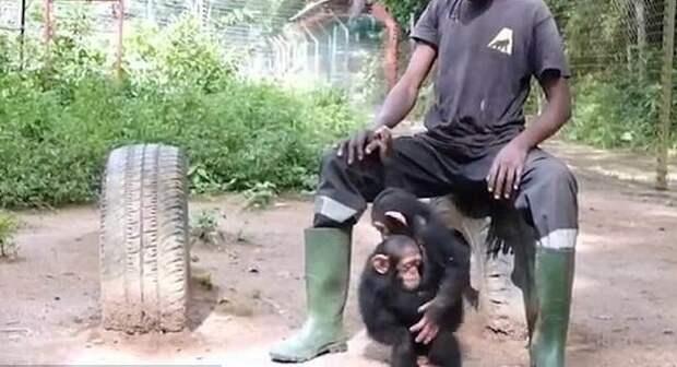Спасенный от браконьеров маленький шимпанзе вновь научился дружбе Браконьеры, Счастливый конец, дружба, животные, зоозащитники, обезьяны, спасение, шимпанзе