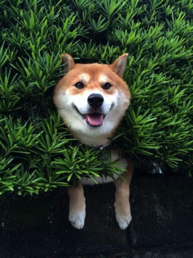 Сиба-ину застрял в кустах, но делает вид что все хорошо.