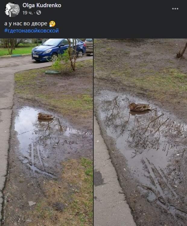 Фото дня: одинокая утка грустит в луже во дворе Войковского