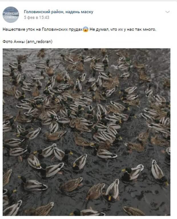 Фото дня: утиный «ковер» на Головинских прудах