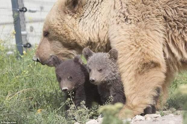 Спасенная из клетки у армянского ресторана медведица Даша родила двух милых медвежат