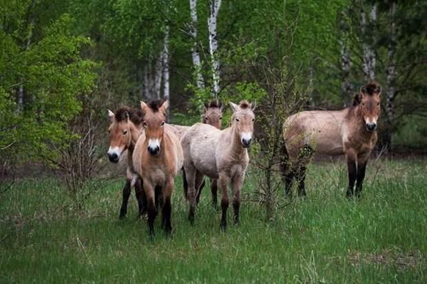 5. Лошади Пржевальского