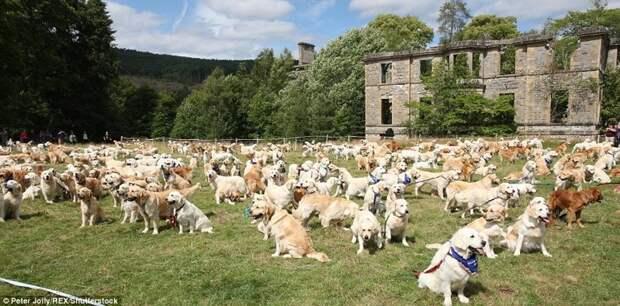 Празднование 150-летия породы прошел в поместье Гизачейн Хаус в Шотландии. в мире, животные, золотистый ретривер, порода собак, породистые, праздник, собаки, фото