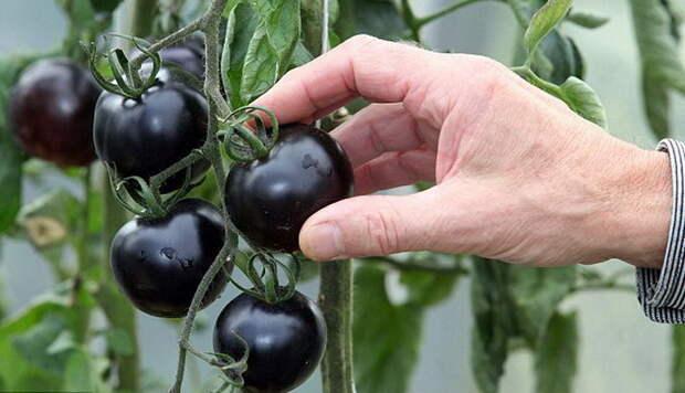 Ученые изобрели сорт помидоров, спасающий от рака