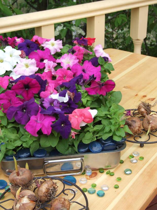Петунии– необыкновенно яркие цветы.