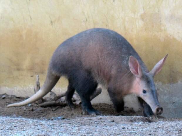 Трубкозуб животные, фото