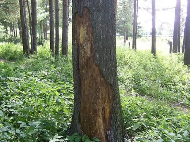 Вредители леса: Короед-типограф