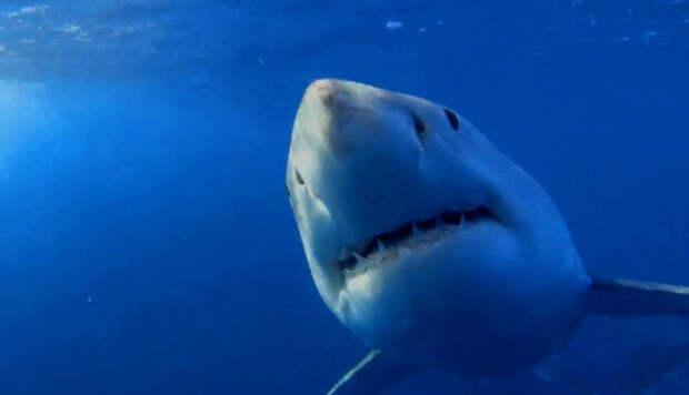 Акула слушает дэт-метал, улавливая вибрации при помощи рецепторов на теле.