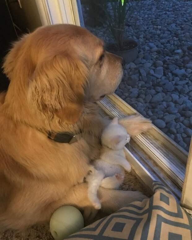 Любовь не знает видовых границ! Этот золотистый ретривер нянчит котёнка, словно ребёнка!