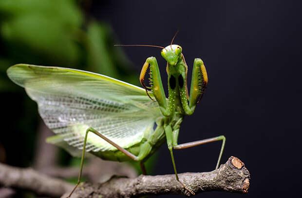 Почему самка богомола съедает самца после спаривания