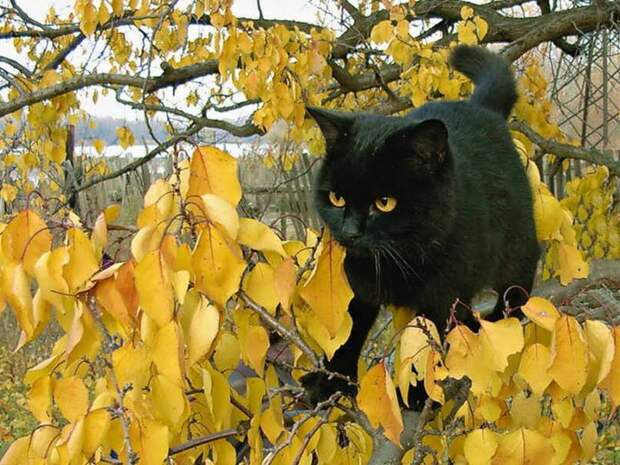 черный кот и желтые листья (700x525, 137Kb)
