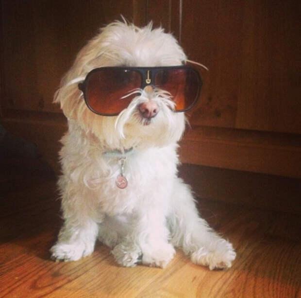 собака в солнечных очках