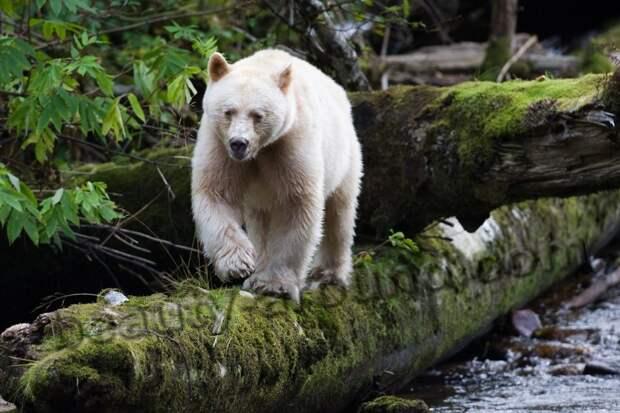 Кермод (кермодский медведь)