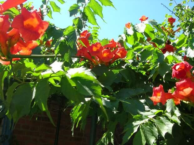 Кампсис - красивейшая цветущая лиана. Личный опыт выращивания и борьба!