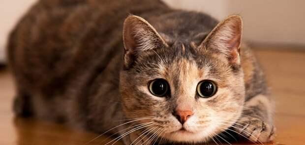 Власти Австралии собираются истребить два миллиона кошек